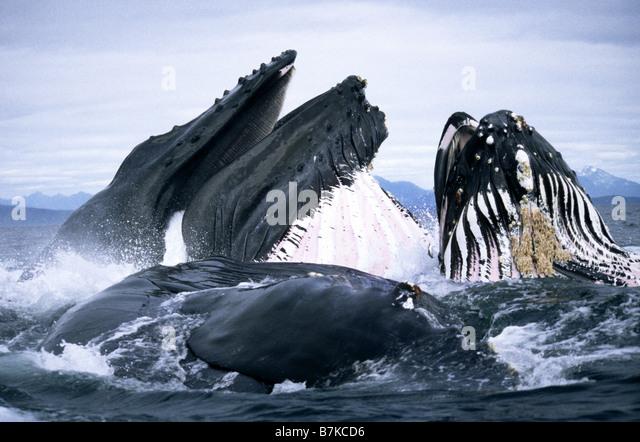 Buckelwale Longe Fütterung, Frederick Sound, südöstlichen Alaska Stockbild