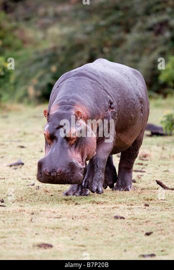 Alten Nilpferd Hippopotamus Amphibius auf dem trockenen Manyara Tansania Stockbild
