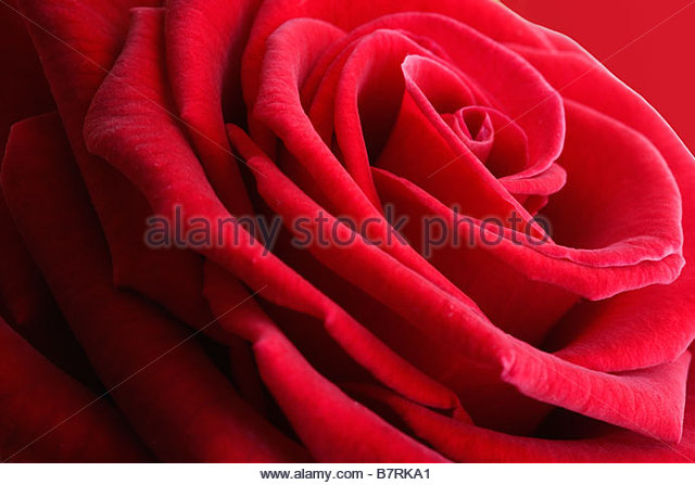 Rosa - rote Rose Stockbild
