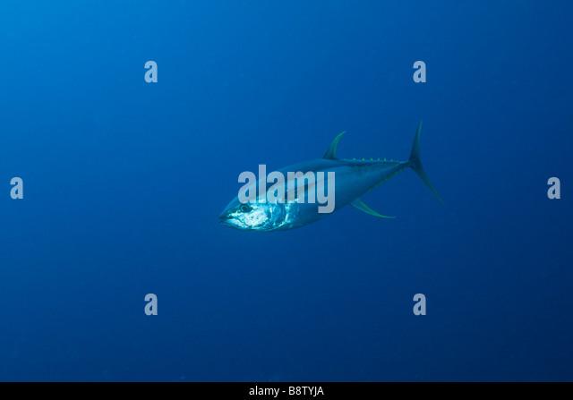 Gelbflossen-Thunfisch Thunnus Albacares Daedalus Riff-Rotes Meer-Ägypten Stockbild