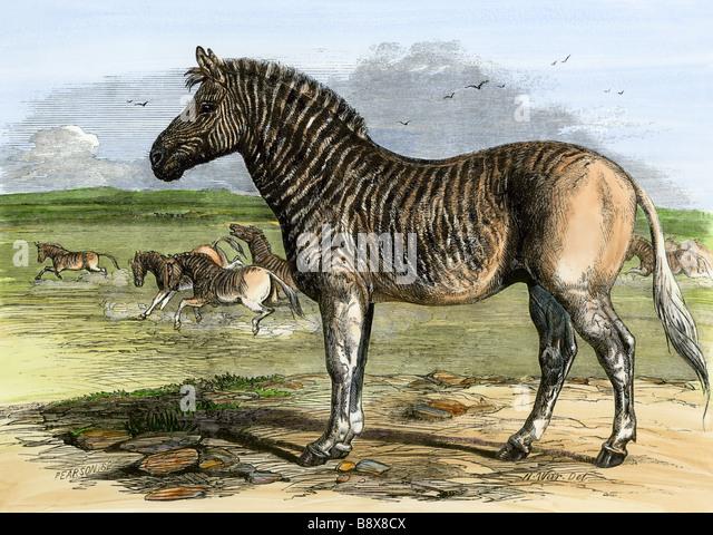 Afrikanische Quagga, jetzt ausgestorben, in den London Zoo 1850er Jahren Stockbild