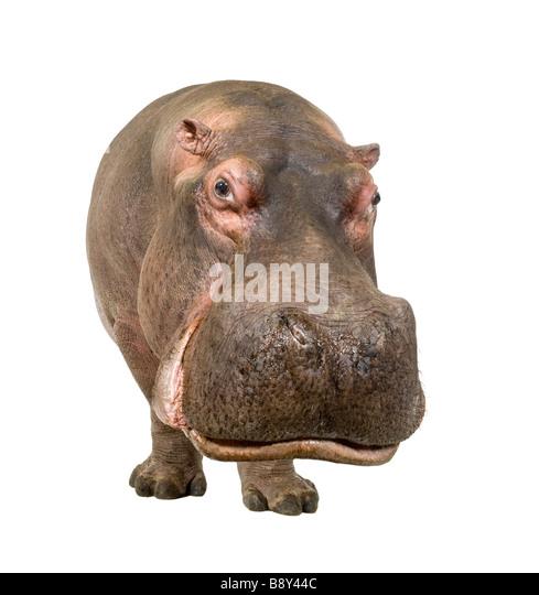 Nilpferd Hippopotamus Amphibius 30 Jahre vor einem weißen Hintergrund Stockbild