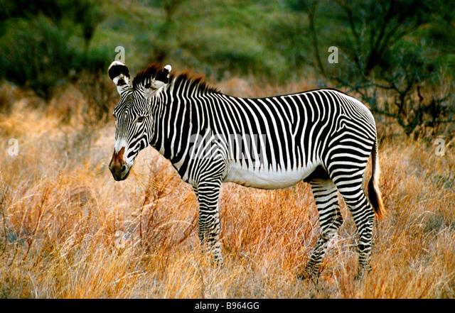GREVY ZEBRA IN KENIA AFRIKA Stockbild