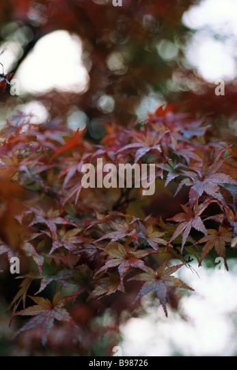 Blätter des japanischen Ahorn Stockbild