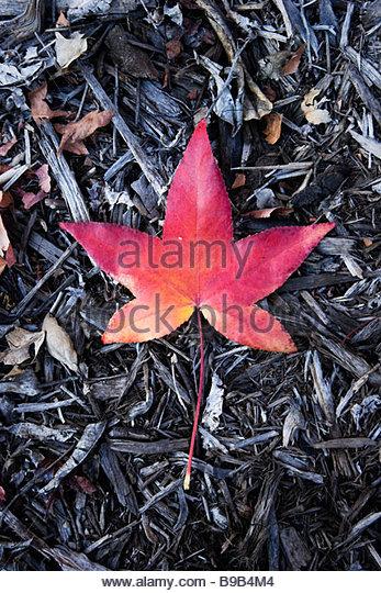 Rotes Blatt flüssiger Bernstein Glendora Kalifornien Stockbild