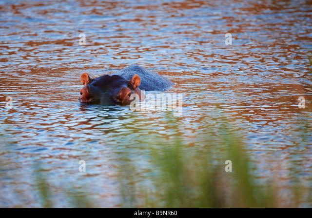 vorsichtig bei Nilpferd in einem Fluss, Krüger Nationalpark, Südafrika Stockbild