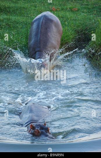 zwei Nilpferd, die Rückkehr zu einem Fluss, Krüger Nationalpark, Südafrika Stockbild