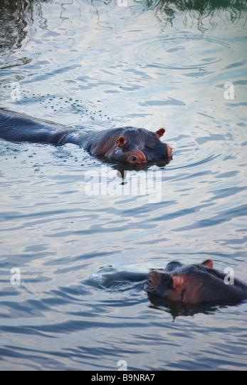 zwei Nilpferd in einem Fluss, Krüger Nationalpark, Südafrika Stockbild