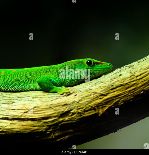 Eine Madagaskar-Taggecko ruht auf einem Ast. Stockbild