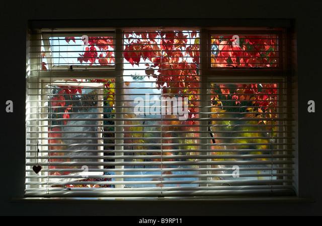 Ein Schlafzimmerfenster mit Jalousien und rote und grüne Blätter wachsen außerhalb des Fensters abdecken Stockbild