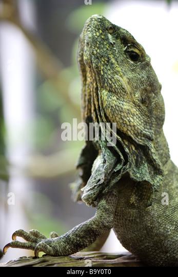 Krause-necked Eidechse (Chlamydosaurus Kingii) nachschlagen Stockbild