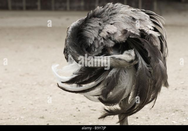 Größere Rhea (Rhea Americana) Stockbild