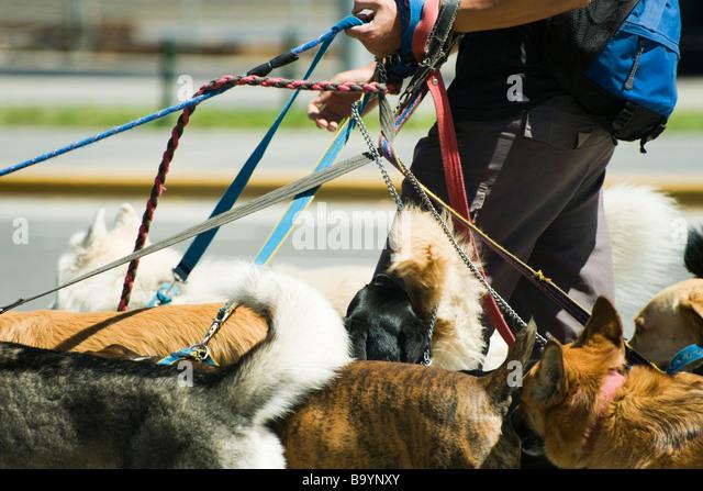 Person zu Fuß mehrere Hunde, verkürzte Ansicht Stockbild