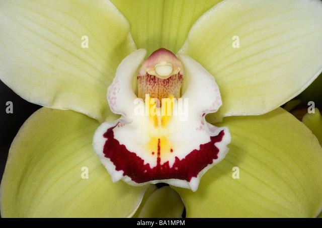 Nahaufnahme des Zentrums der Orchidee Cymbidium Stockbild
