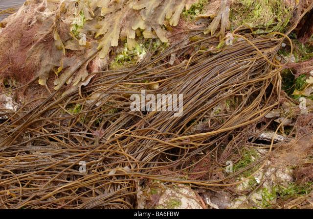 Toten Mens Seile Chorda Filum ein Braunalgen und Großbritannien s längste Algen UK Stockbild