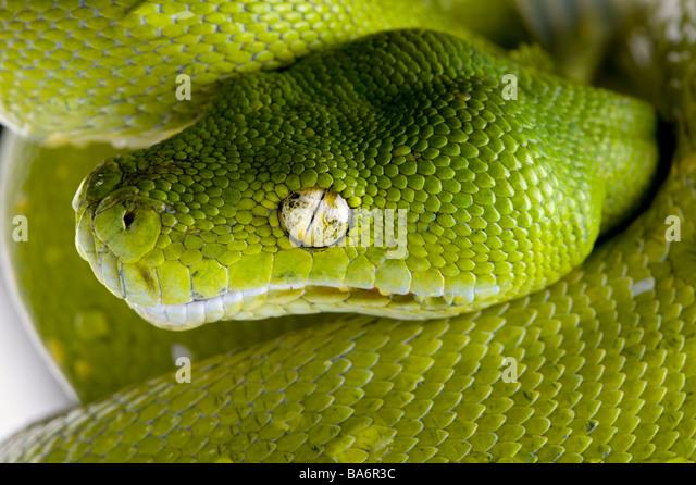 Grüner Baumpython Morelia Viridis 5 Jahre alt, vor einem weißen Hintergrund Stockbild