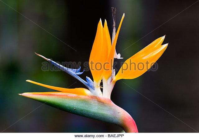Strelitzia (Paradiesvogel Blume) Stockbild