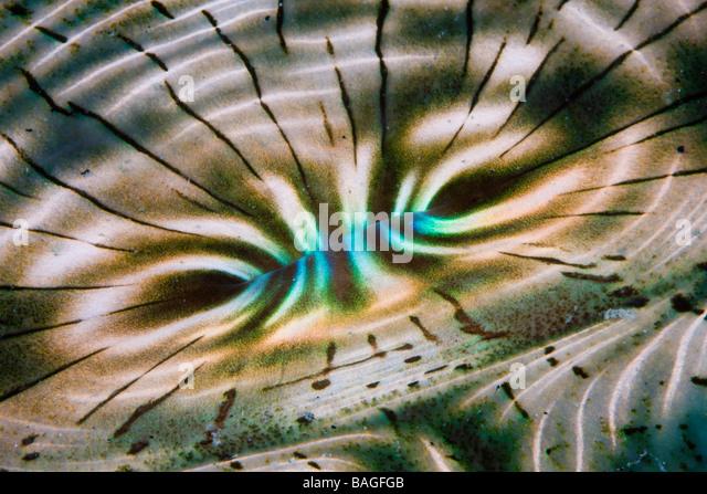 Irisierende Mantel der Riesenmuschel Tridacna Squamosa Mikronesien Palau Stockbild