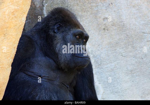 Gorilla im Schatten Stockbild