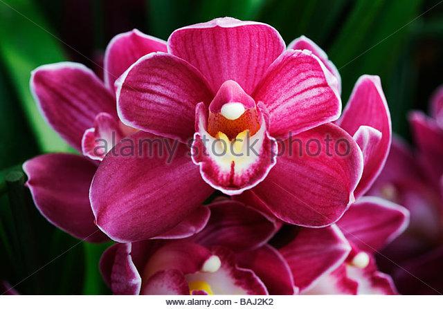 Cymbidium - Orchidee Stockbild