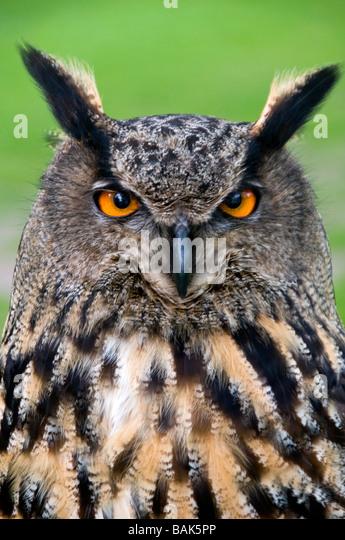 Kopf einer eurasische Adler-Eule, Latin Name Bubo Bubo Stockbild