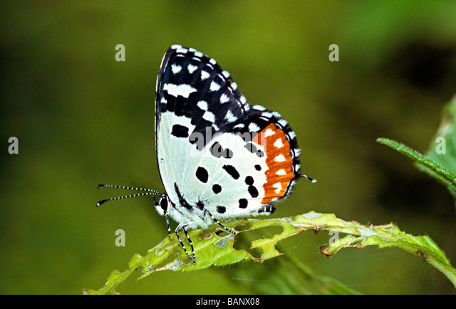 Rotes Pierrot Talicada Nyseus aus Amboli Wald, Maharasthra, Indien. Lycaenidae: Blues Stockbild