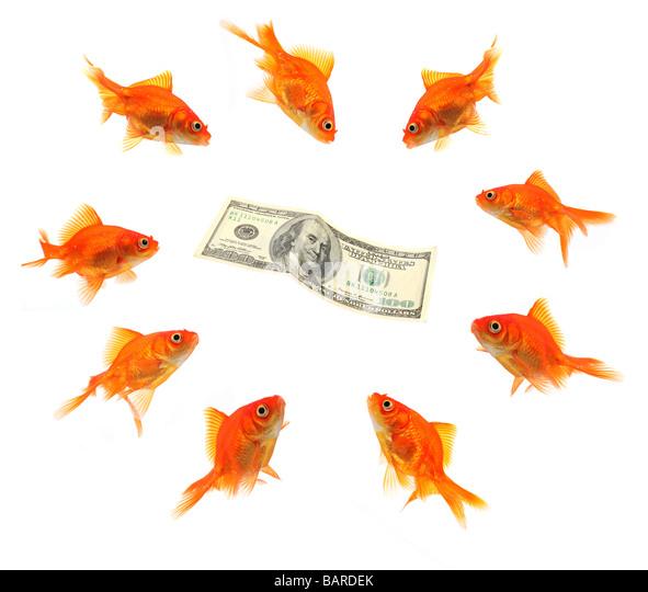 Geld, umgeben von Gruppe von Goldfischen isoliert auf weiss Stockbild