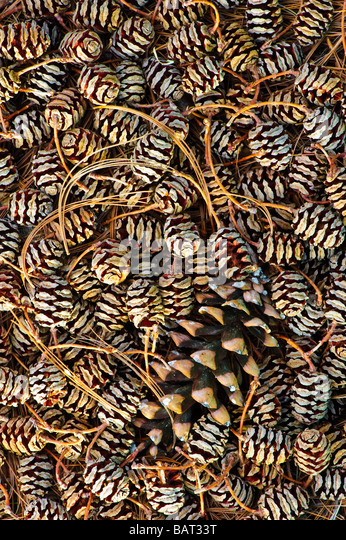 Dawn Redwood weiblichen Kiefernzapfen (metasequoia) mit einzelnen White Pine Cone bilden eine grafische Muster. Stockbild