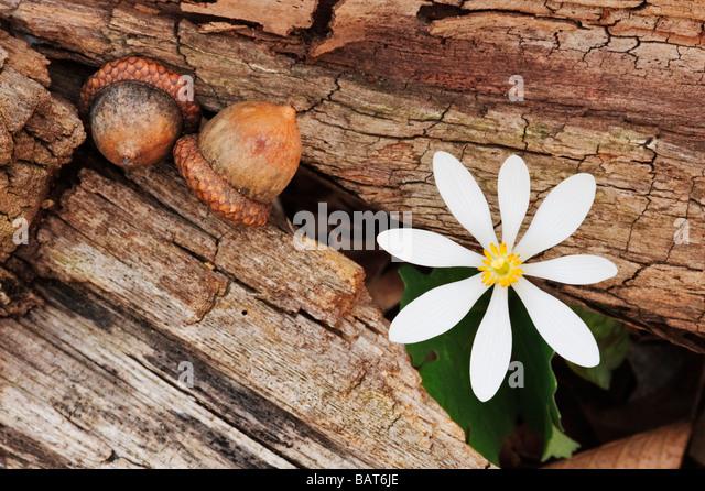 Sanguinaria canadensis, bloodroot und Eicheln Form einen frühen Frühling intimen Landschaft Stockbild