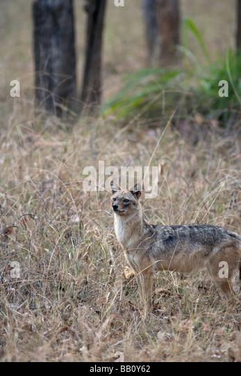 Eine Warnung Jackal (Canis Aureus) in den Wald von Pench Tiger reserve, MP-Indien. Stockbild
