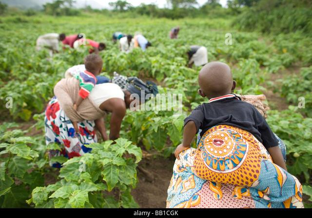 Frauen mit Kindern auf dem Rücken, im Bereich tätig sind, Ghana, Afrika. Stockbild