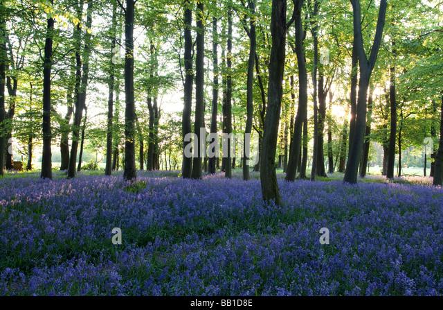 Ashridge Woods Glockenblumen - Buckinghamshire Stockbild