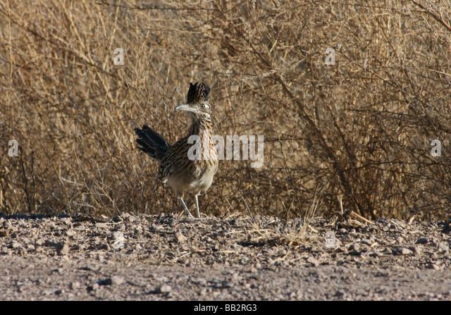 Roadrunner, New Mexico, USA Stockbild