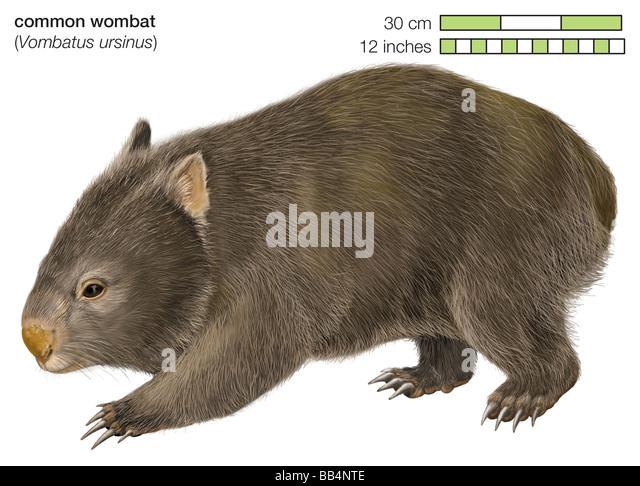 Gemeinsamen Wombat (Vombatus Ursinus) Stockbild