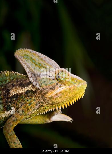 Männlich, verschleiert oder Jemen Chamäleon Chamaeleo Calyptratus hat eine große Casque auf Kopf Stockbild
