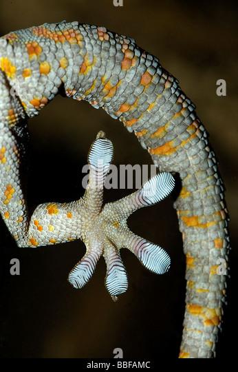 Unterseite Fuß von Tokay gecko Stockbild