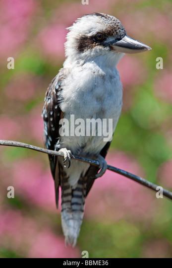 New South Wales in Australien. Ein Kookaburra, einen großen terrestrischen Eisvogel. Stockbild
