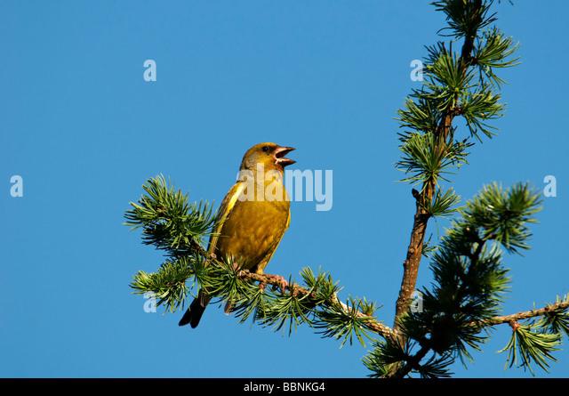Europäischen Grünfink (Zuchtjahr Chloris) Stockbild