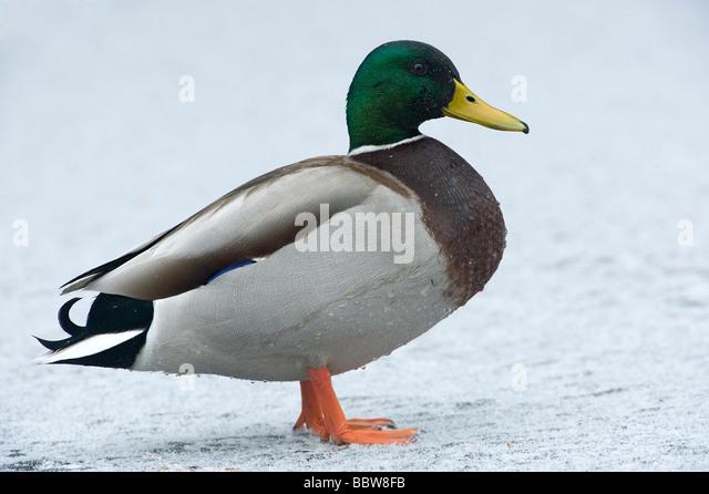 Stockente Anas Platyrhynchos Drake auf Schnee bedeckt zugefrorenen See Stockbild