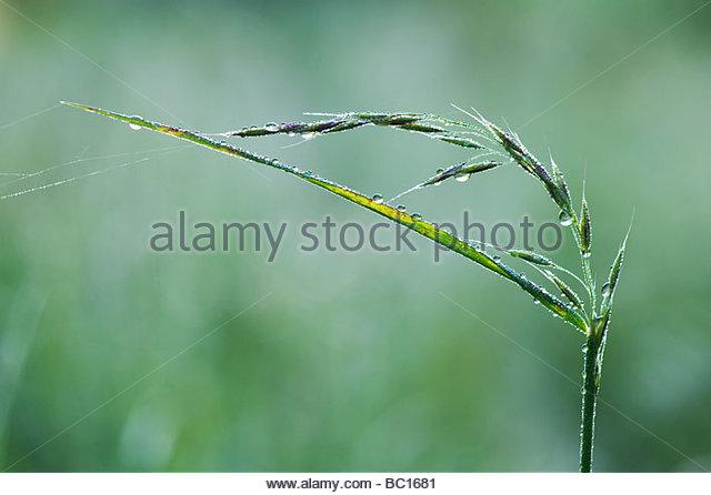 Wassertropfen auf Gras, die Samen gegangen ist Stockbild