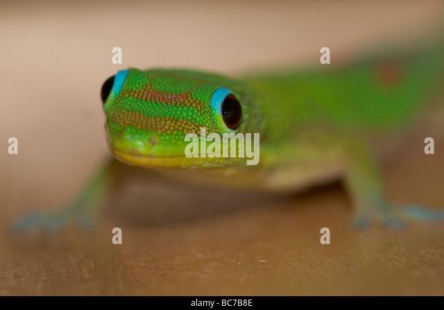 Goldstaub Gecko Phelsuma laticauda Stockbild