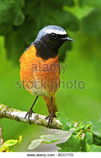 GARTENROTSCHWÄNZE (Phoenicurus Phoenicurus). Männlich, thront auf Zweig der Eiche. - Stock-Bilder