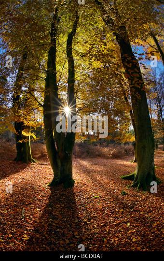 Buche Bäume im Bolderwood. New Forest Nationalpark. Hampshire. England Stockbild