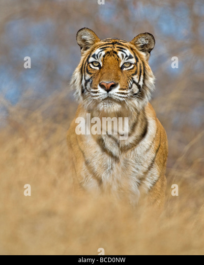 BENGAL-TIGER (Panthera Tigris Tigris) Frau namens Machali. Indien Stockbild