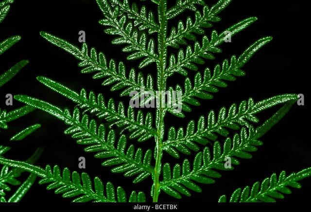 Komplizierte Protuberanzen auf einer Halterung Farn Wedel, Pteridium Esculentum. Stockbild