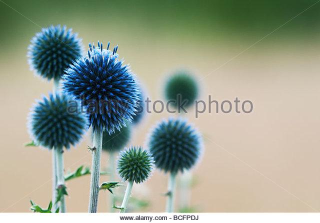 Echinops Ritro veitch's blue. Globe Distel Blume in einem englischen Garten Stockbild