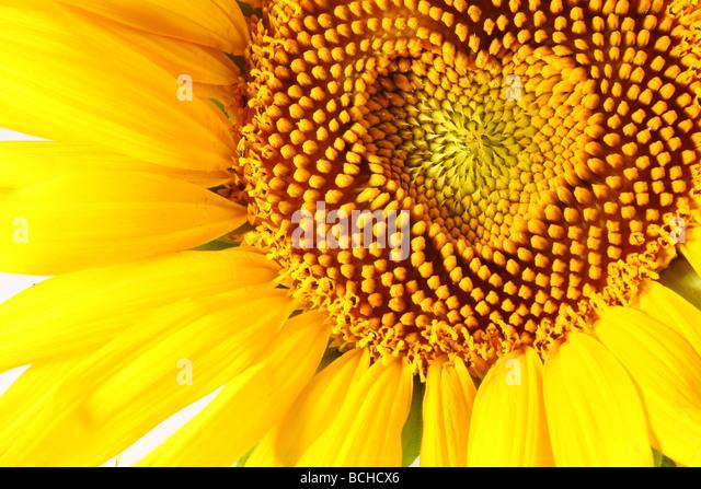 Staubblätter in Form von Herzen auf eine Sonnenblume Stockbild