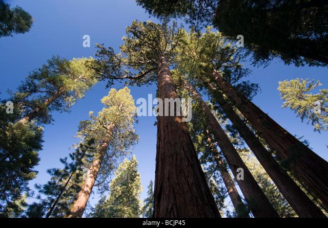 USA, Kalifornien, Yosemite-Nationalpark, Mariposa Grove, Bachelor und drei Grazien Mammutbäume Stockbild