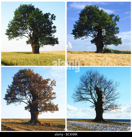 Baum-Sequenz in vier Jahreszeiten Stockbild