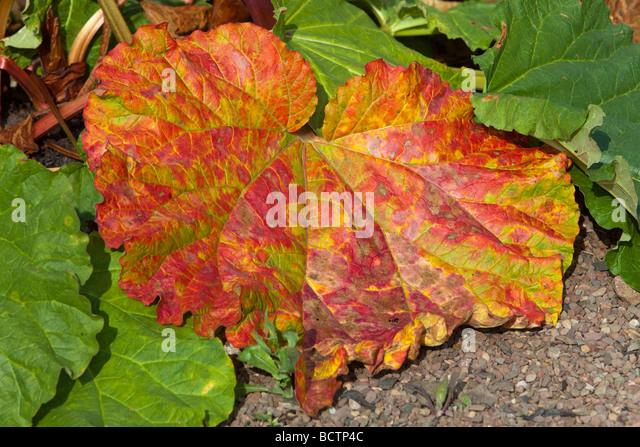 Rhabarber Blätter drehen Rot, Ende Saison Stockbild